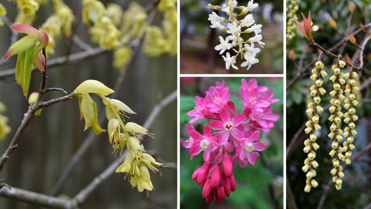 What S Blooming Now A Quick Guide For Spring Plants In Seattle