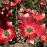What's Blooming in May in Seattle? (Dogwood Trees!) – Board & Vellum – Landscape Architecture