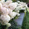 Hydrangeas: What's Blooming Now, in August? – Board & Vellum – Landscape Architecture