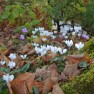 What's Blooming – Late Autumn in the Pacific Northwest – Board & Vellum Landscape Architecture & Site Design