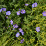 Geranium, or Cranesbill, flowers are purple and stand out with contrasting bring green leaves in a shade garden..