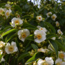 Stewartia monodelpha – white blossoms with yellow centers – are a great option for a shade garden.